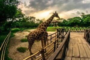 Auto safari chapin en Escuintla