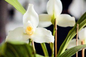 La Monja Blanca Flor Nacional de Guatemala